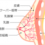 垂れ乳・離れ乳の原因!?クーパー靭帯が切れたらどうなるの?切れないための鍛え方や修復方法は?
